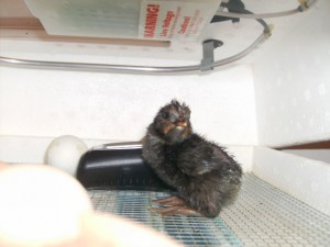 Our first born chick!